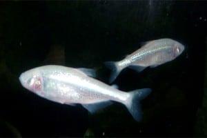 Blinder Höhlenfisch