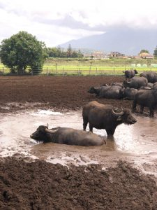 Büffel-Bill Herde