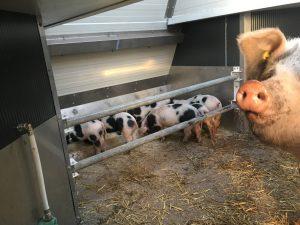 Mobile Schweineställe innen